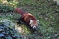 Panda roux (Zoo-Amiens)b.JPG