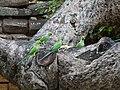 Papagei Anuradhapura 2017-10-15 (2).jpg