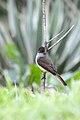 Papamoscas Triste, Dusky Capped Flycatcher, Myiarchus tuberculifer (11915699226).jpg