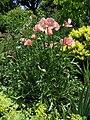 Papaver orientale 'Pattys Plum' Plant 2112px.jpg