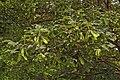 Paperbark Maple Acer griseum Foliage 3008px.jpg