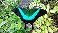Papilio Buddha.jpg