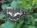 Papilio demoleus 4.jpg