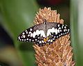 Papilio demoleus LC0022.jpg