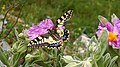 Papilio machaon. Macaón.jpg