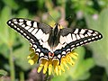 Papilio machaon Махаон на одуванчике.jpg