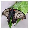 Papilio memnon 1 Linne.jpg