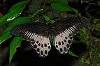 Papilio polymnestor by Kadavoor.jpg