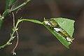 Papilio polytes caterpillar-Kadavoor-2016-03-25-001.jpg