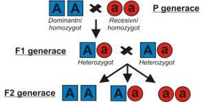 Genotypy P, F1 a F2 generací u monohybridismu
