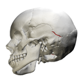 Parietomastoid suture - skull - lateral view02.png