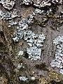 Parmelia sulcata 96319309.jpg