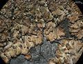 Parmeliella pannosa - Flickr - pellaea (1).jpg