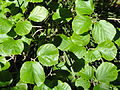 Parrotiopsis jacquemontiana - Botanischer Garten, Frankfurt am Main - DSC03276.JPG