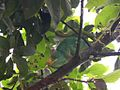 Parson's Chameleon. Calumma parsonii - Flickr - gailhampshire.jpg