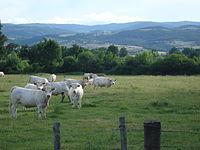 Paysage du Bas-Forez avec vaches à Chalain-d'Uzore.JPG