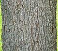 Pecan (Carya illinoinensis) bark detail.jpg