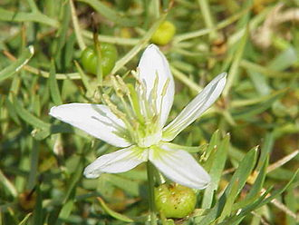 Harmala alkaloid - Peganum harmala, commonly known as Syrian Rue