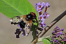 Pellucid fly (Volucella pellucens) female.jpg