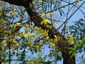 Peltophorum africanum - 'African wattle' (3034867266).jpg