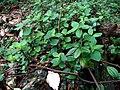 Peperomia blanda var. floribunda (5516128431).jpg