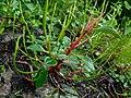 Peperomia sui - 紅莖椒草 by 石川 Shihchuan - 002.jpg