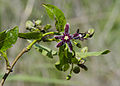 Periploca graeca - Silk vine - Gariplerurganı 04.jpg