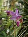Phalaenopsis pulcherrima kz03.jpg