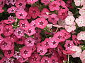 Phlox from Lalbagh Flowershow - August 2012 4566.JPG