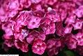 Phlox paniculata Laura 4zz.jpg