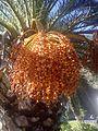 Phoenix dactylifera - 20121229.jpg