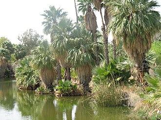 Phoenix Zoo - Palms near the zoo entrance