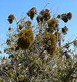 Phoradendron juniperinum 1.jpg