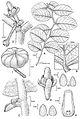 Phyllanthus hivaoaense.jpg