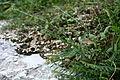 Phyllanthus ussuriensis 05.JPG