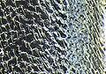 Phymatodes lividus detail3.jpg