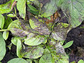 Phytophthora infestans potato Parel, aardappelziekte Parel.jpg