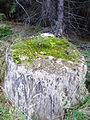 Picea abies - young trees growing on a treetrunk.JPG