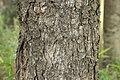 Picea jezoensis 01.jpg