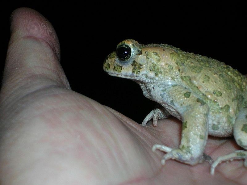 צפרדע על כף היד