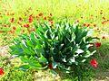 PikiWiki Israel 41510 Plants of Israel.JPG