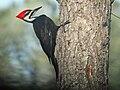 Pileated Woodpecker (Dryocopus pileatus).jpg