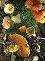 Pilze auf Waldboden.jpg
