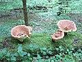 Pilze im Bannwaldgebiet Ravensburg-Höllwald.jpg