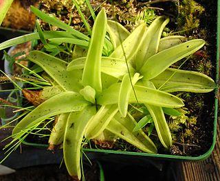 <i>Pinguicula lutea</i> species of plant
