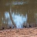 Pink-eared duck Burke River Boulia Queensland P1030174.jpg