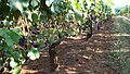 Pinot Noir grapes at White Rose Estate Vineyard.jpg