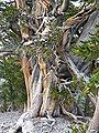 Pinus longaeva 5.jpg