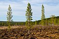 Pinus sylvestris, Luulamminsuo, Urho Kekkonen National Park, Lapland, Finland, 2017-06-09 - 35410796780.jpg