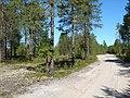 Pinus sylvestris Urals.jpg
